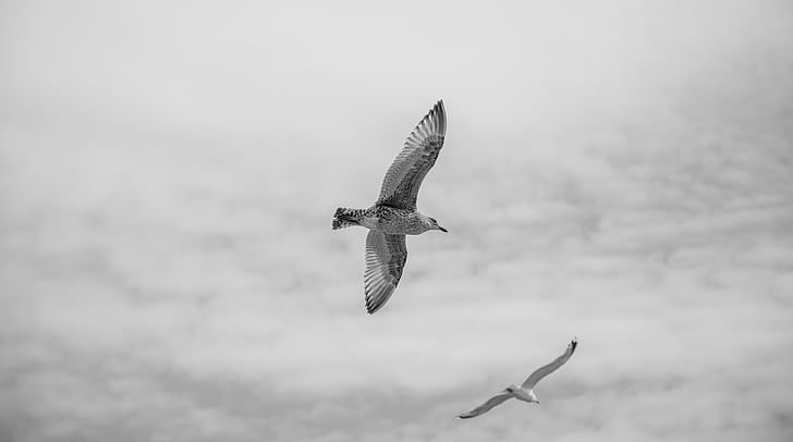 hayvanlar, kuşlar, siyah-beyaz, bulutlar, Bulutlu, Martılar, Martılar