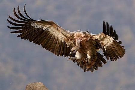 vultur, pasăre, aripi, pradă, măturător de stradă, sălbatice, prădător