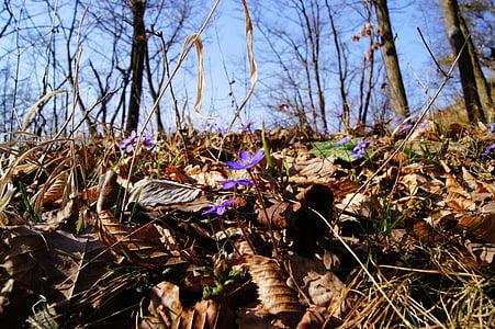 jetrnik, pomlad, vijolična, cvet, cvet, cvet, vijolična