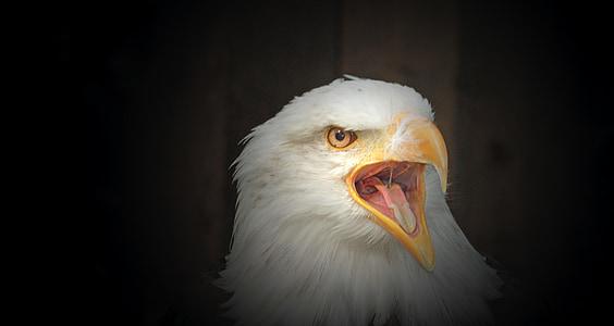 valkoinen pyrstö eagle, kalju kotka, huuto, petolintu, haukkametsästys, Raptor, Sulje