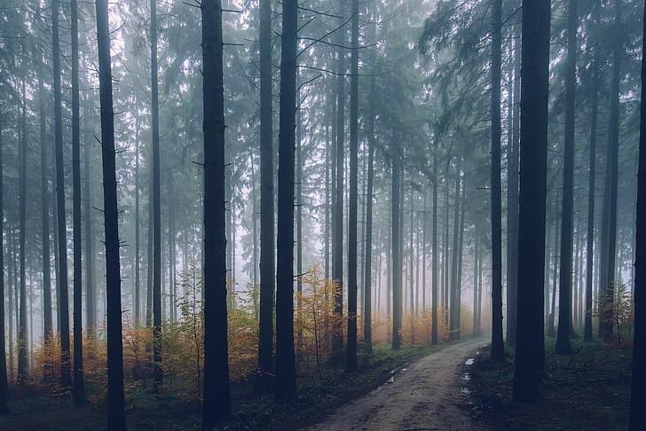 backlit, filial, conífera, amanhecer, meio ambiente, Outono, nevoeiro