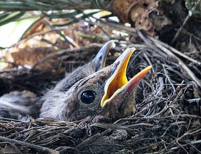 bird, blackbird, nest, blackbird nest, bird young, young birds, breed