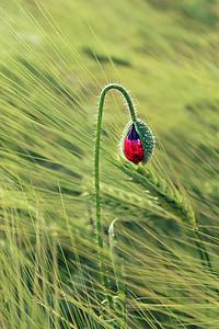 flower, poppy, red, blossom, bloom, poppy flower, red poppy