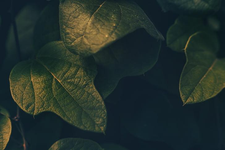 verd, fulla, planta, natura, color verd, close-up, frescor