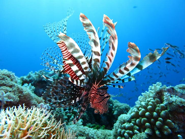 lionfish, scuba diving, underwater, sea, reef, ocean, tropical