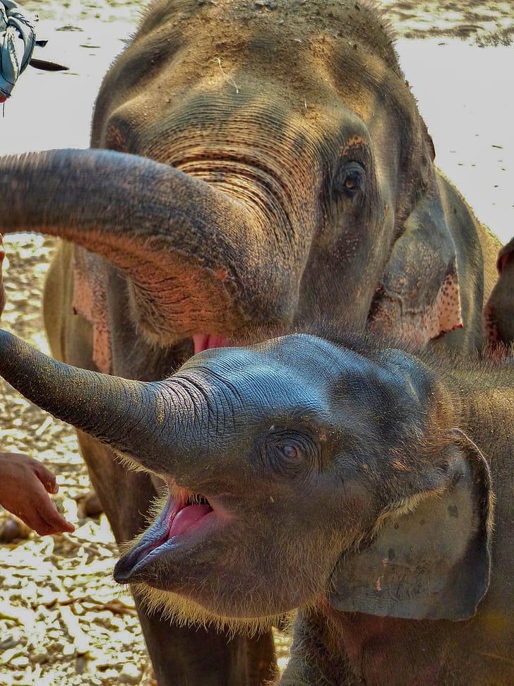 動物, 象, 公園, 動物関連, 動物の身体の部分, 家畜, 動物の頭部
