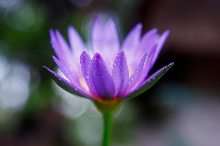 cvijet, ljubičasta, krupne
