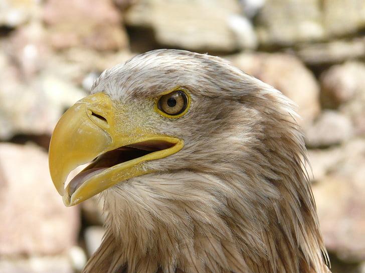 орел, птица, раптор, дивите птици, животните, природата