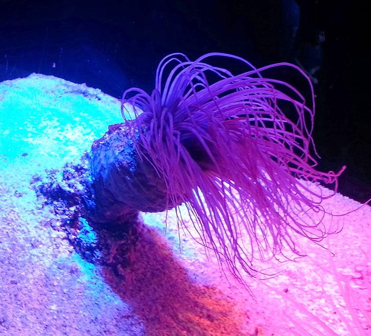 Anemone de, Mar, oceà, Costa, vida de mar, sota l'aigua, bonica