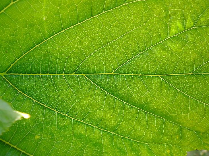 yaprak, Yeşil, doğa, yeşil yaprakları, Şube