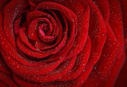 steg, rød, rosa, morgen, Rose blomst, blomst, roseblader