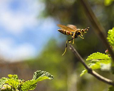 Vespa, natura, insecte, macro, flor, abella, fulla