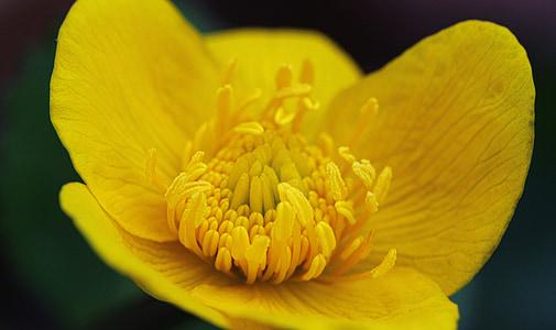 lill, kollane, õitsemine, loodus, taim, Aed, Makro