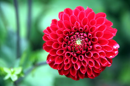 dàlia, flor, planta, flor, flor, vermell