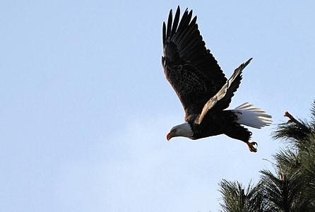 Eagle, plešatý, lietanie, Raptor, vták, Príroda, divoké