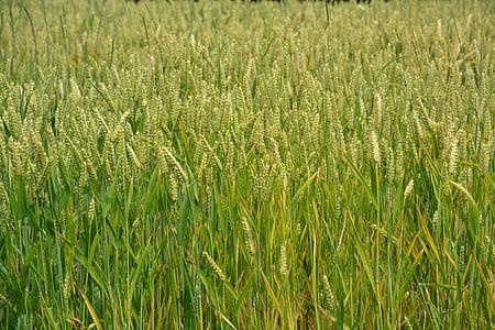wheats, teravilja, naelu, leib, loodus, põllumajandus, maastik