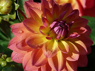 jardí de dàlia, Rosa, groc, porpra, flor, flor, flor