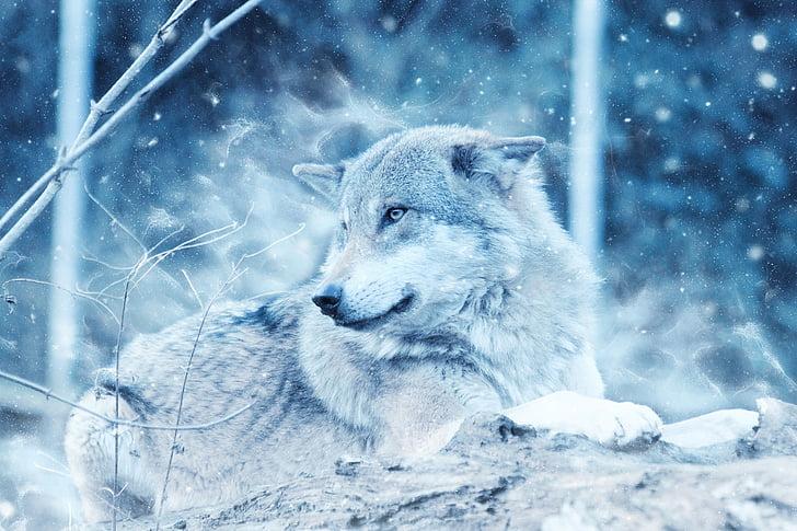Wolf, looma, lumi, talvel, Predator, pikali, loodus