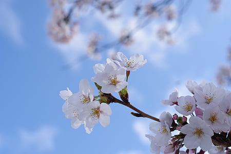 cherry, plant, flowers, arboretum, spring flowers, spring, natural