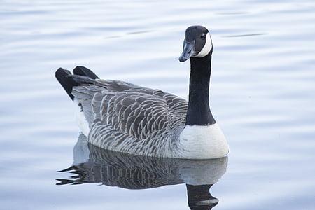 鴨, 水, 自然, 野生動物, ガチョウ, 鳥, カナダのガチョウ