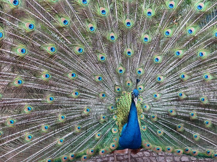 паун, птица, перушина, цвят, цветни, перо, създание