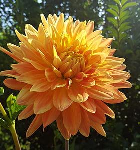 květ, Dahlia, okvětní lístek, léto, Příroda, Bloom, závod