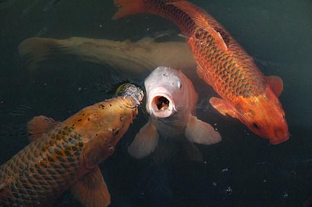 Koi, peix, carpa de Koi, l'aigua, apareixen, embolic