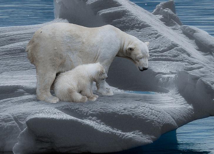 білий ведмідь, полярні ведмеді, Хижак, айсберг, холодної, Полярний ведмідь дитинча, Арктики