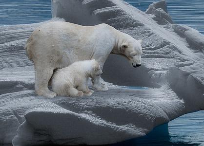 polar bear, polar bears, predator, iceberg, cold, polar bear cub, arctic