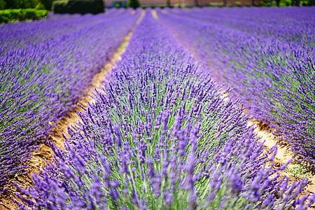 flores de lavanda, azul, flores, púrpura, dunkellia, violeta, lavanda