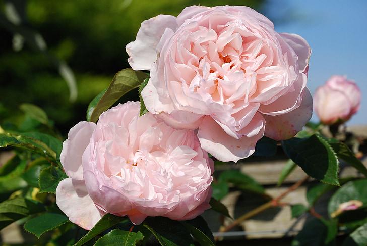 ruusut, vaaleanpunainen, kukka, Kaunis, tuoksu