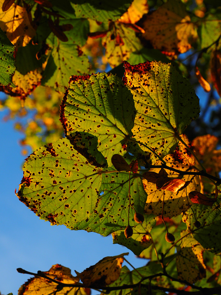 lišće, jesen, sunčano, šarene, boje jeseni, jesen lišće, Gupčeva Lipa
