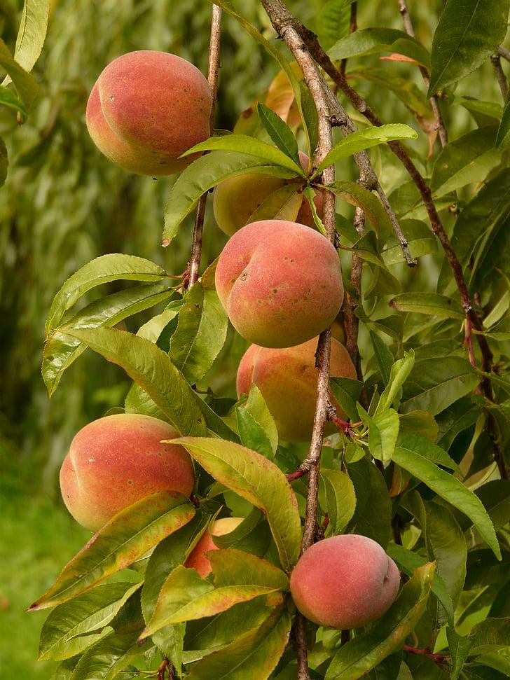 broskyne, Peach tree, Malu persicum, ovocie, zrelé, šťavnaté, jesť