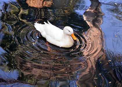 white swan, water, swimming, pond