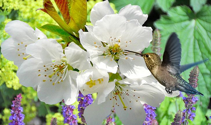 peach blossom, plant, nature, flower, garden, flowers, white