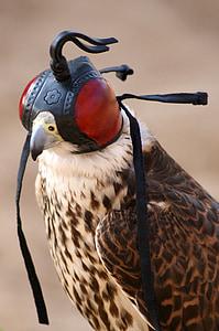 falcon, fly, bird, wing, spring, griffin, bird of prey