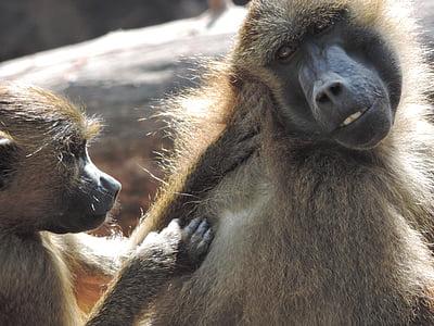 Papió, mico, zoològic, animal, Tiergarten, primats, primats
