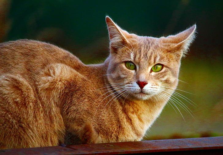 cat, mackerel, breed cat, tiger cat, cat's eyes