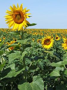 päevalilled, Prantsusmaa, väli, kollane, suvel, Provence, maal