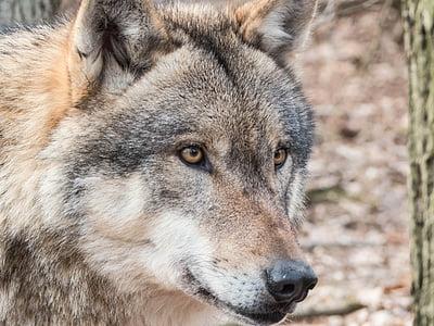 wolf, wild, carnivores, wildlife park, pack animal, predator, wild animal