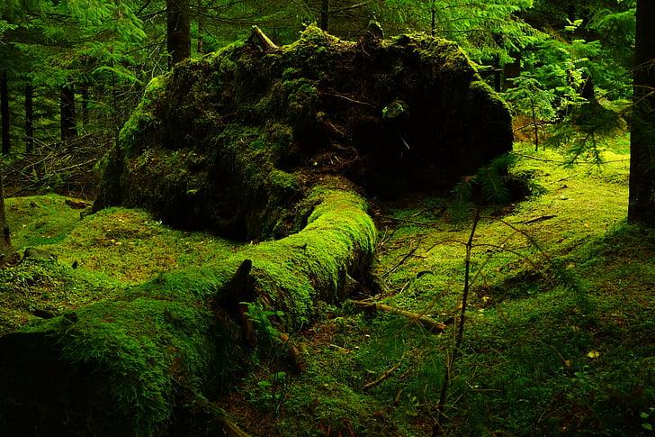 bosc, molsa, Noruega, natura, color verd, no hi ha persones, a l'exterior