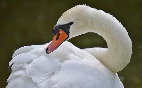 Cigne, ocell, aigües, l'aigua, blanc, ocell d'aigua, ploma