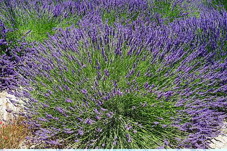 Λεβάντα Μπους, άνθη λεβάντας, λουλούδια, μωβ, χλωρίδα, floral, Λεβάντα