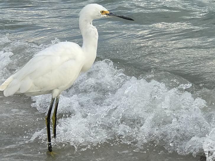 egret, bird, bird-watching, snowy, wildlife, shoreline, nature photography