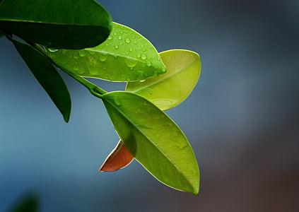 foglie, foglia, verde, natura, foglia verde, foglie verdi, ambiente