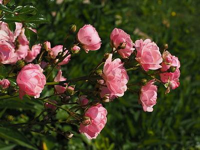 Roses, Roser, Rosa, roses de jardí, flor, flor, jardí