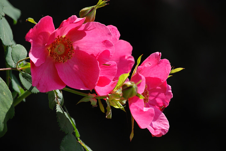 กุหลาบ, ดอกไม้, สีชมพู, กลิ่นหอม, ฟลอรา