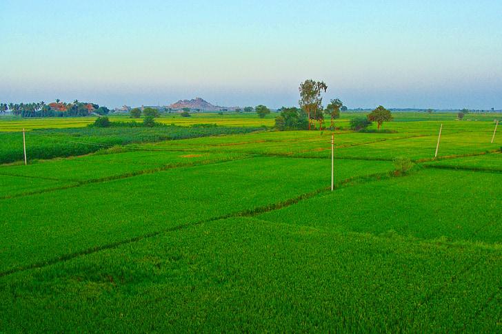rice fields, paddy cultivation, tungabhadra plains, raichur, karnataka, india