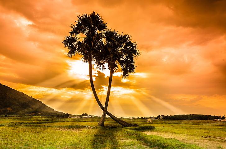 árvore, Thot, pôr do sol, beleza, Vietname, palmeiras, campo