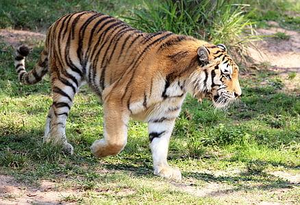 tiger, wild, looking, walking, zoo, feline, carnivore